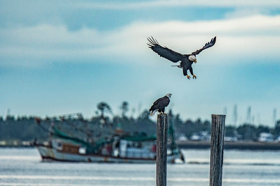 Bald eagles in Ocean Springs Harbor by  Jeff Impey Photography