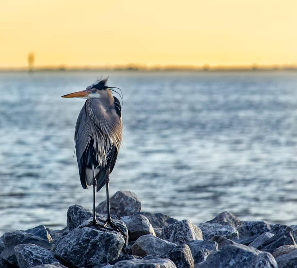 A Great Blue Heron at Ocean Springs Front Beach by  Steven Lepre Photography
