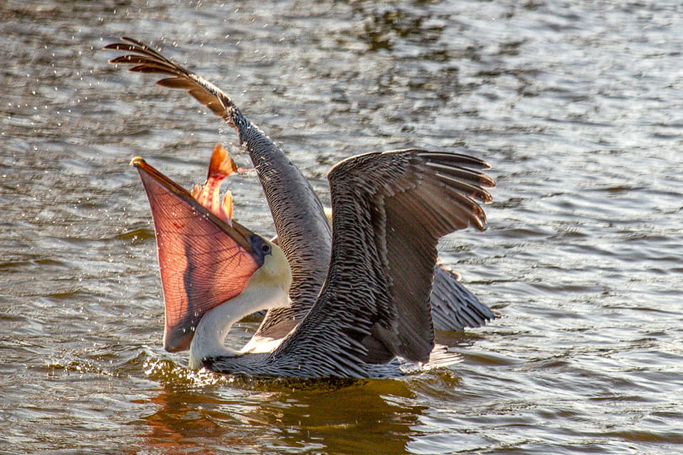Brown pelican with some leftovers from fishermen at Ocean Springs Harbor by  Steven Lepre Photography .