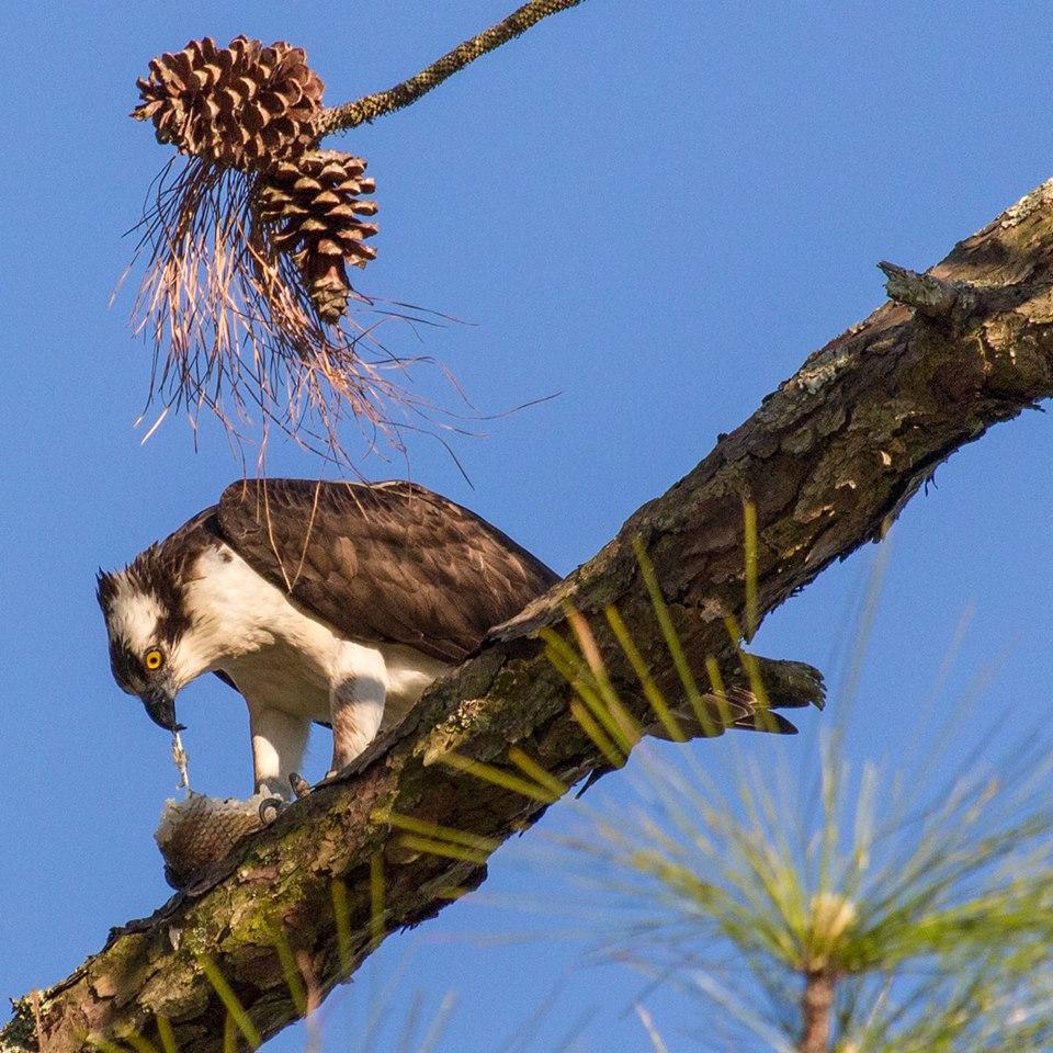 An osprey with its prey