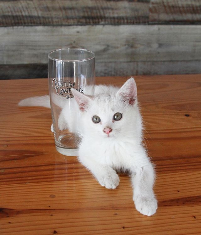 Kittens!  Did we get your attention? We will have kittens available for adoption** at the brewery with @cofaspets next Thursday from 6-8PM! **The kitten you see pictured (although possibly the cutest kitten in the world) is not available for adoption.