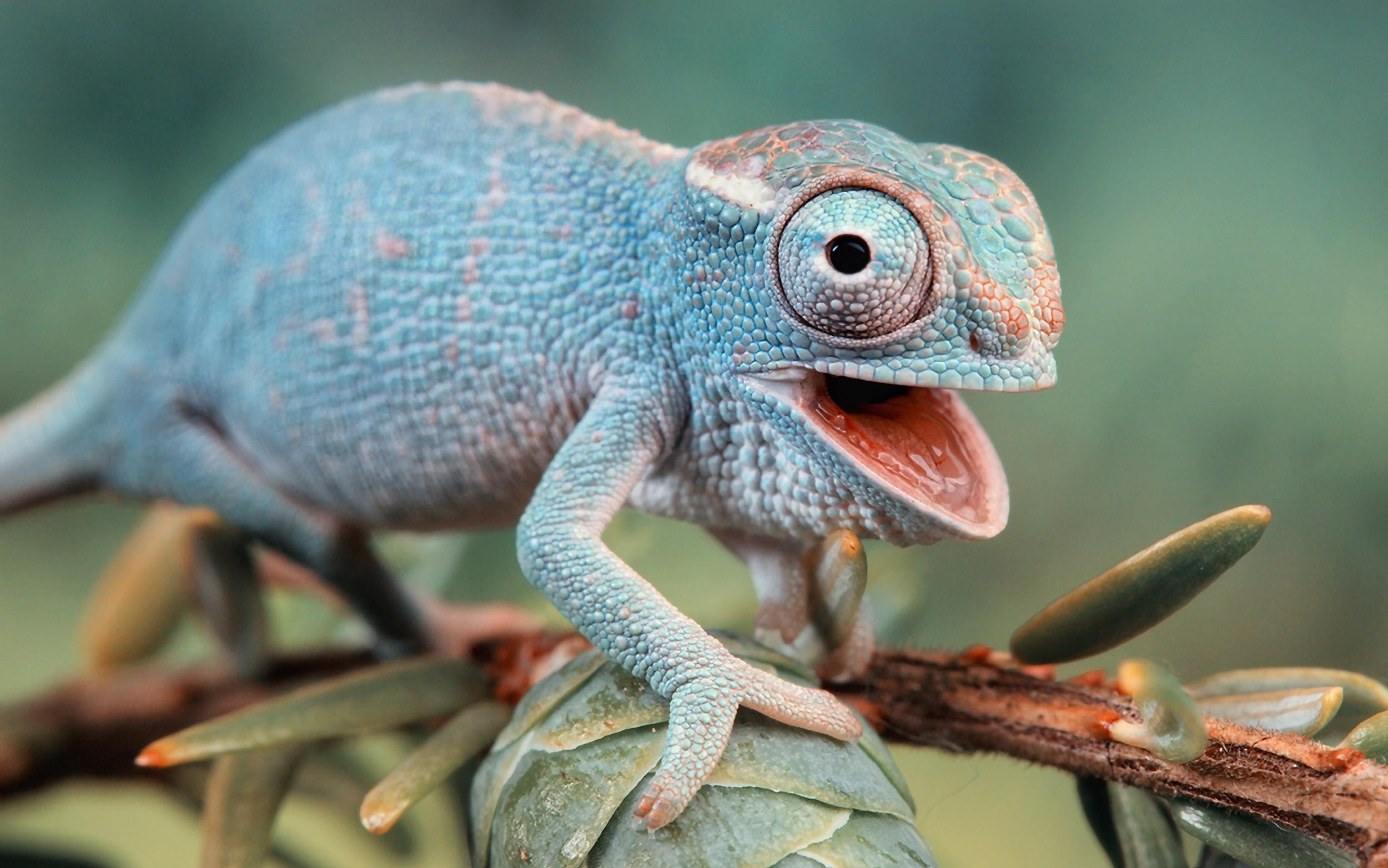 animals-chameleons-funny-lizards-reptiles-1554615-2558x1600.jpg