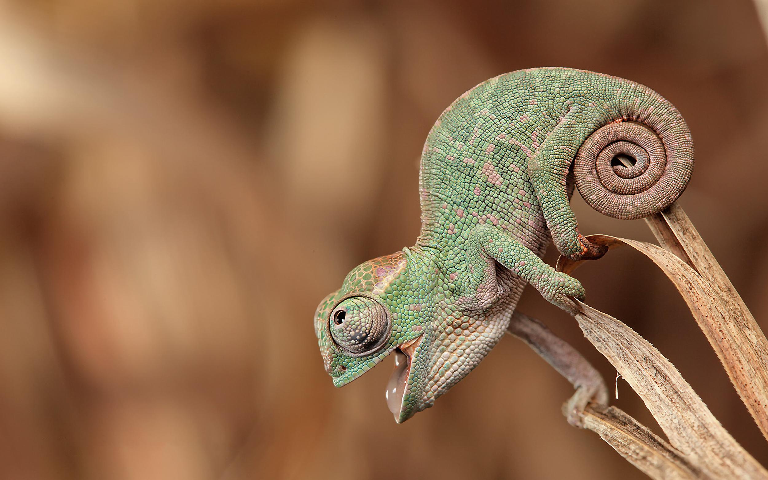 chameleons-funny-lizards-reptiles-depth-1554617-2560x1600.png