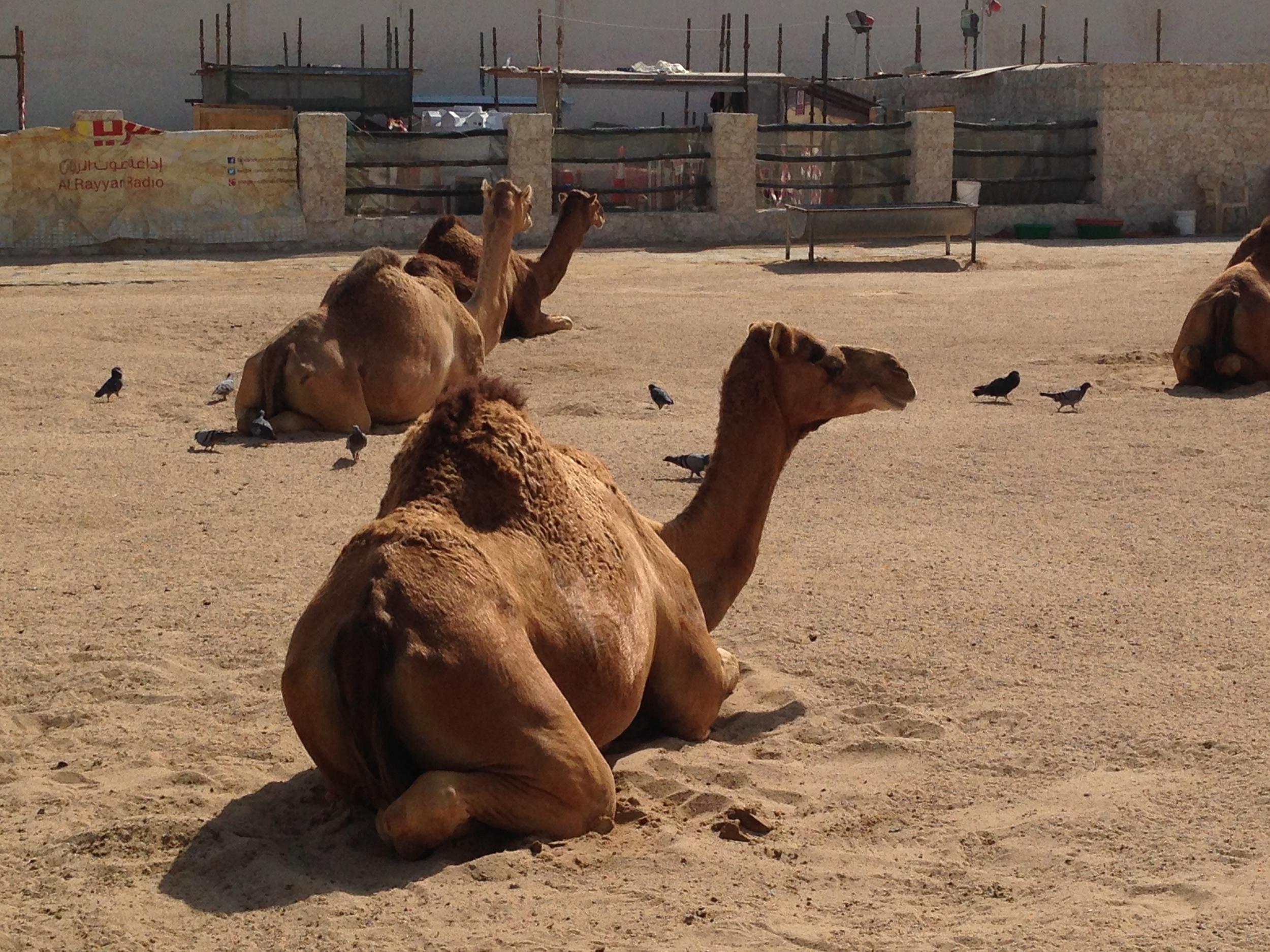 Camels in Souq Waquif