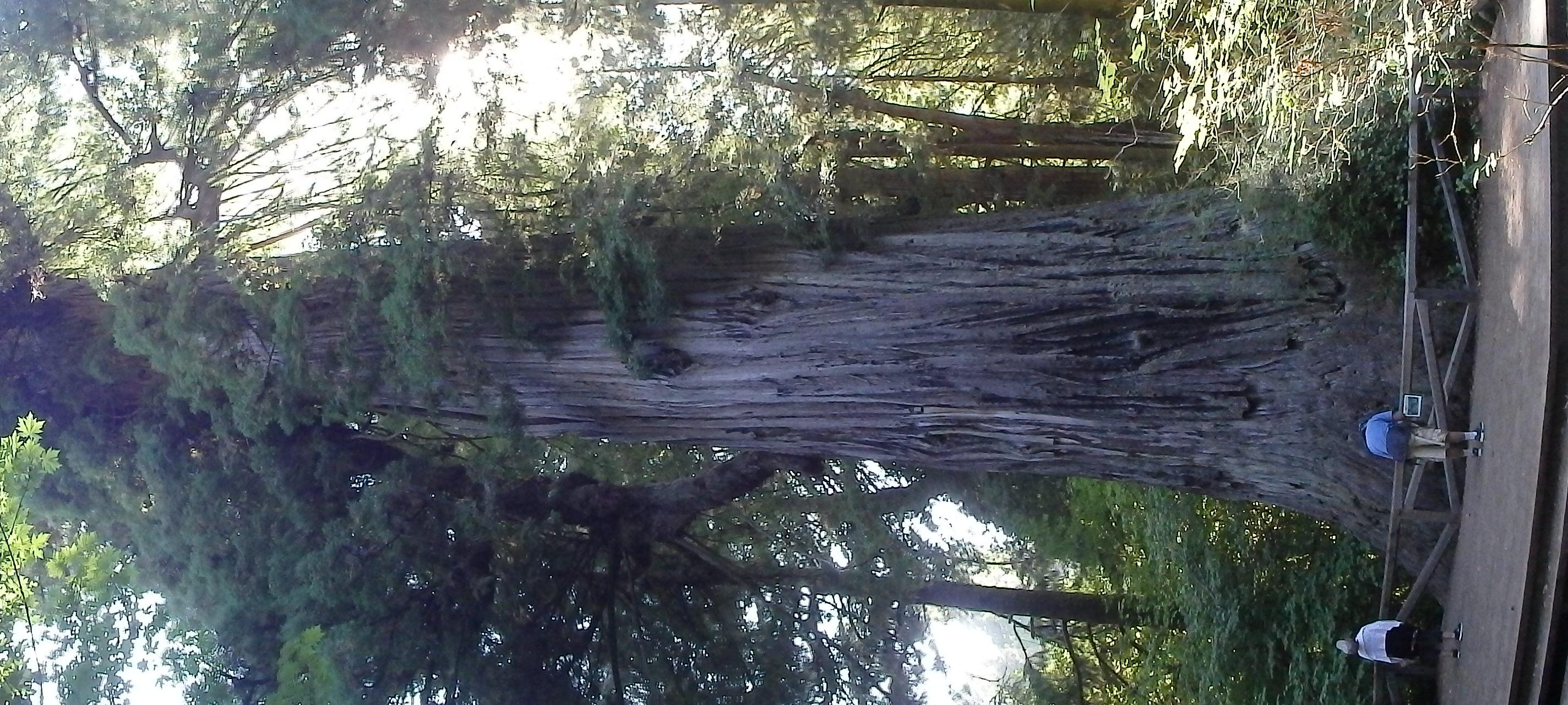 The Big Tree. 300+ feet tall, 21+ feet in diameter, 1500+ years old
