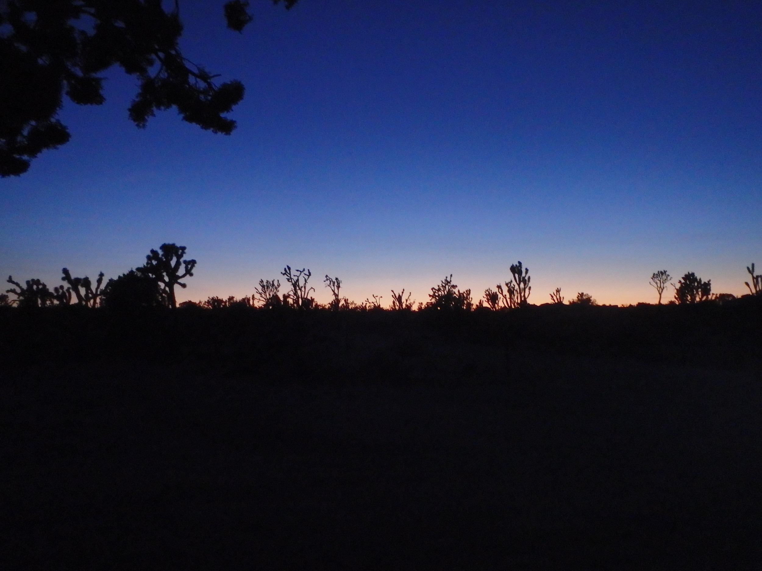 Joshua Trees just after sunset in Mojave