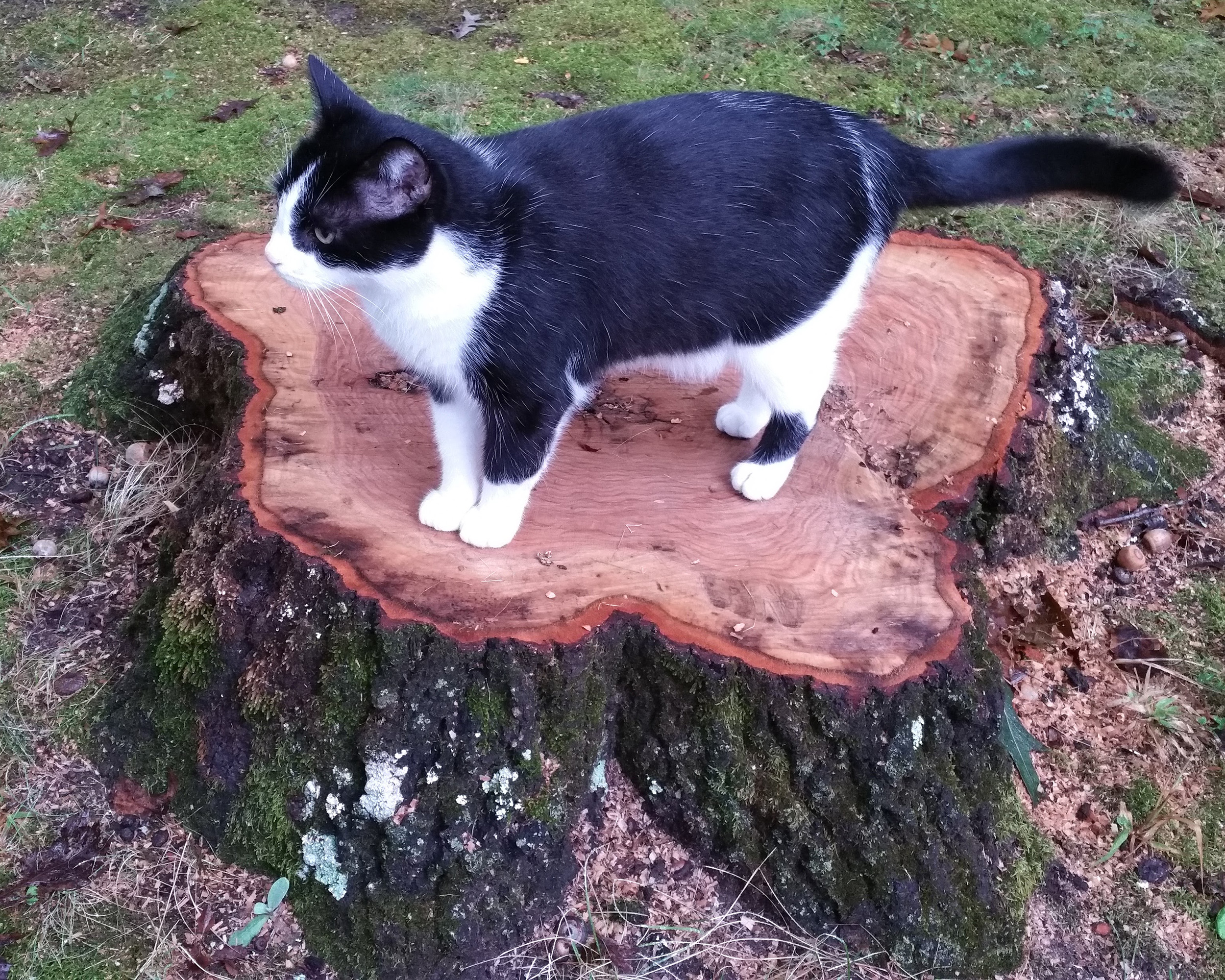 oak-tree-cat.jpg