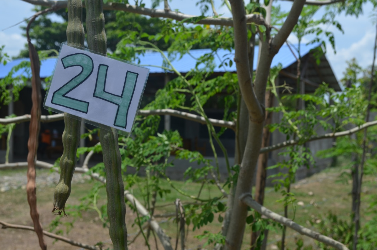 A pod from the Moringa tree produces enough seed for 24 more trees.