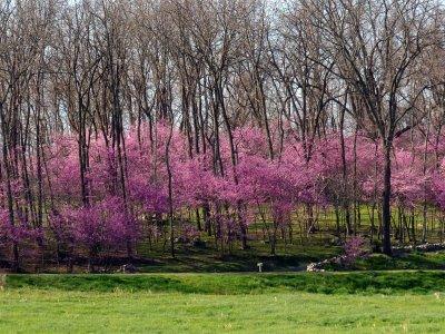 Eastern Redbud in bloom