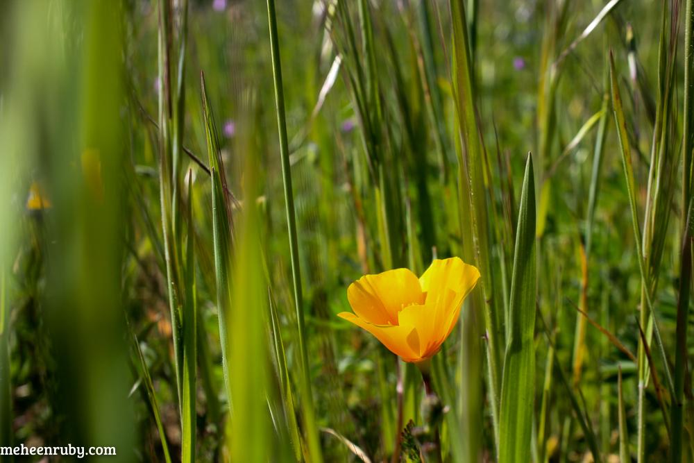 fort ord wildflowers web-24.jpg