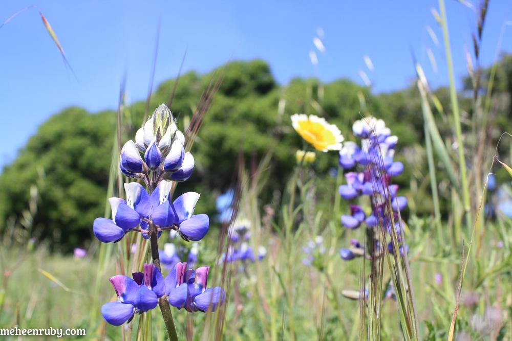 fort ord wildflowers web-20.jpg
