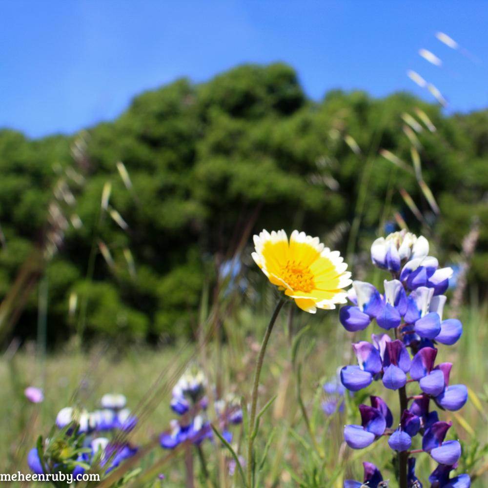 fort ord wildflowers web-21.jpg