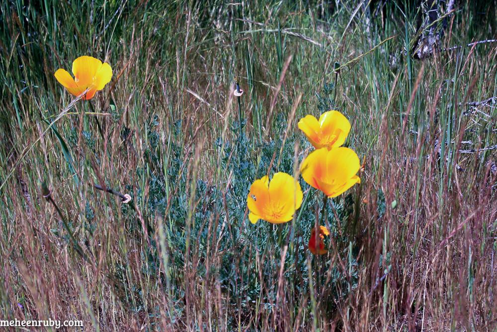 fort ord wildflowers web-12.jpg