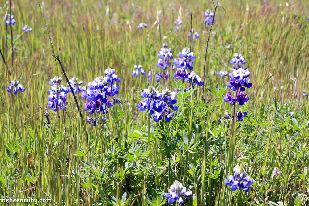 fort ord wildflowers web-11.jpg