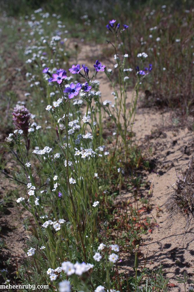 fort ord wildflowers web-6.jpg