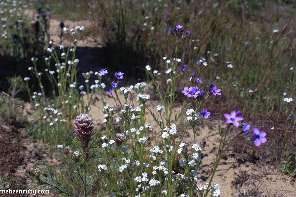 fort ord wildflowers web-7.jpg