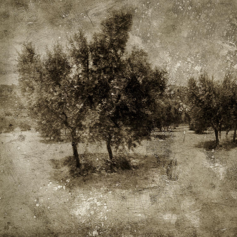olive_grove_3_trees.jpg
