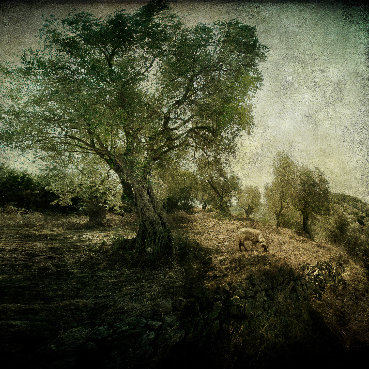 Olive_grove_20x20sharp.jpg