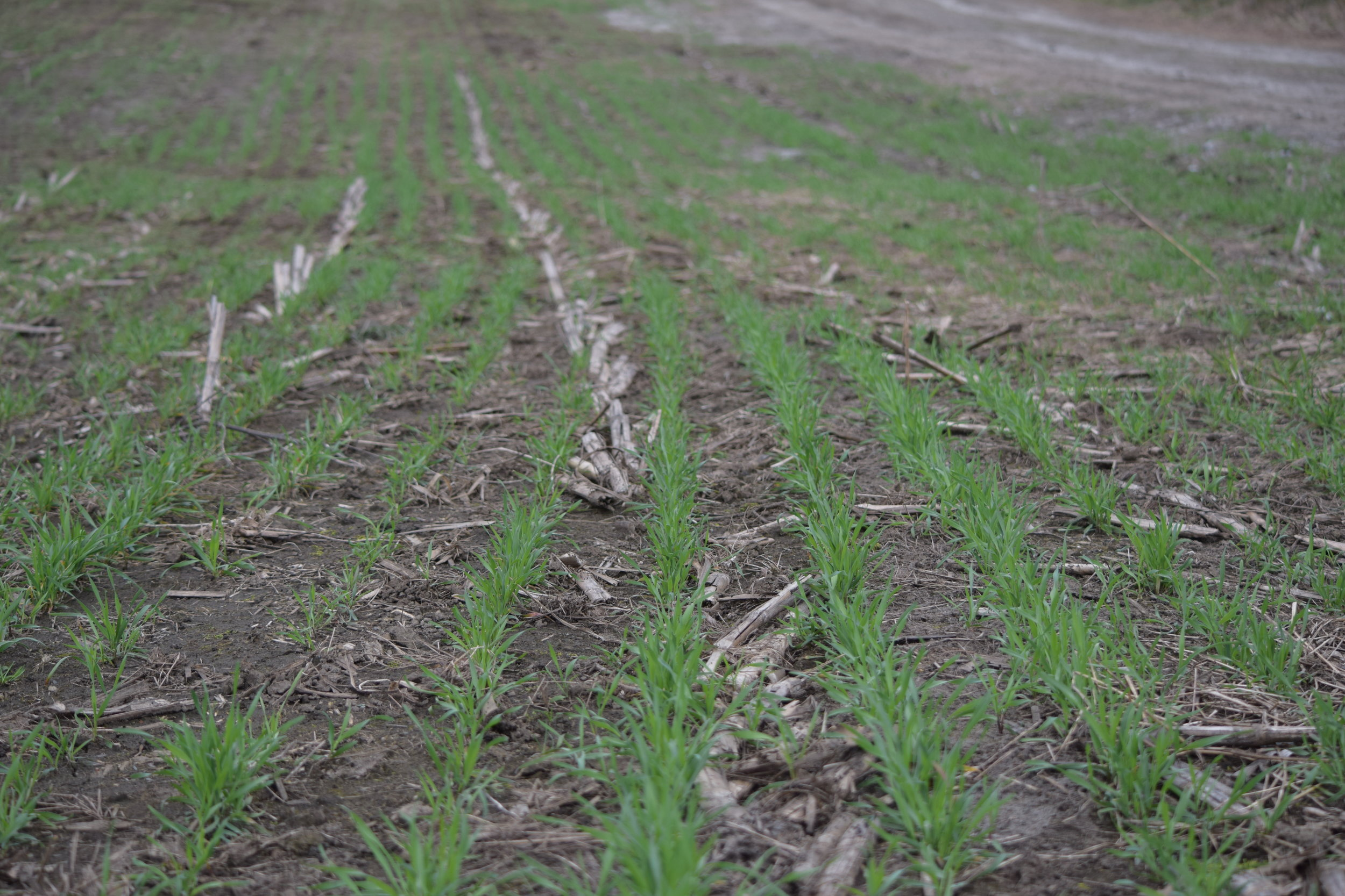 Winter Rye Cover Crop in the Spring before corn planting