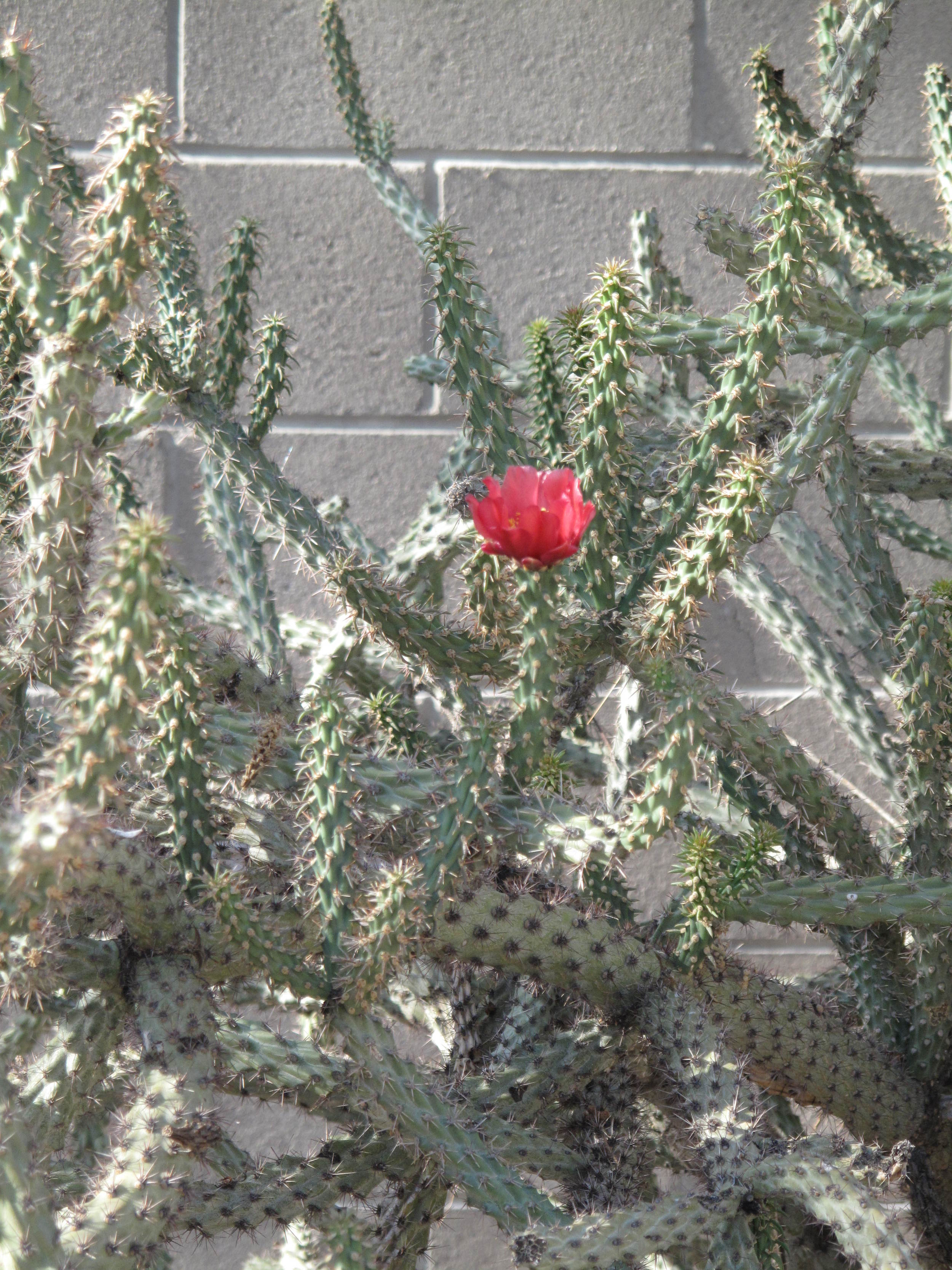 Cactus of type cylindrical arms