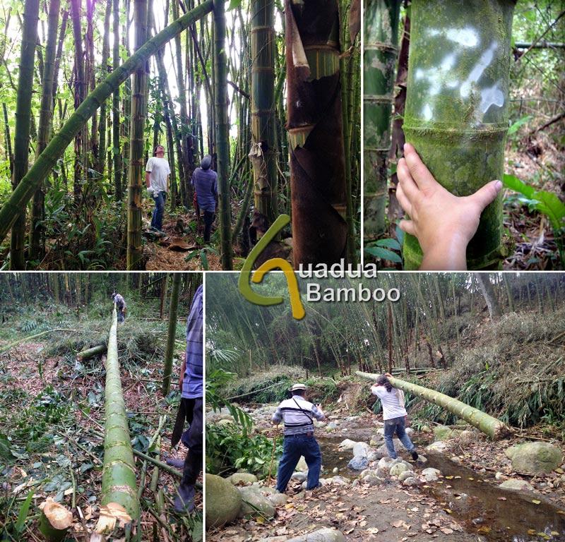 Selecting and Harvesting Guadua Bamboo Poles