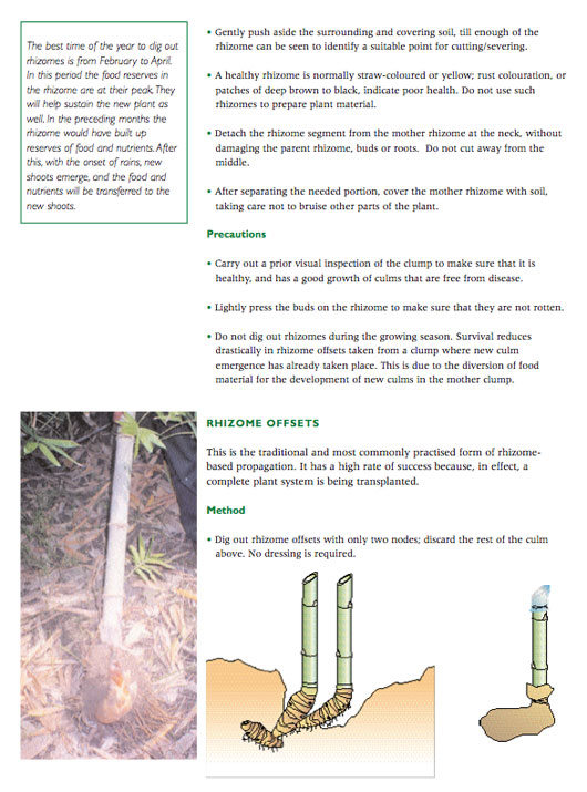 Bamboo-Rhizome-Propagation.jpg