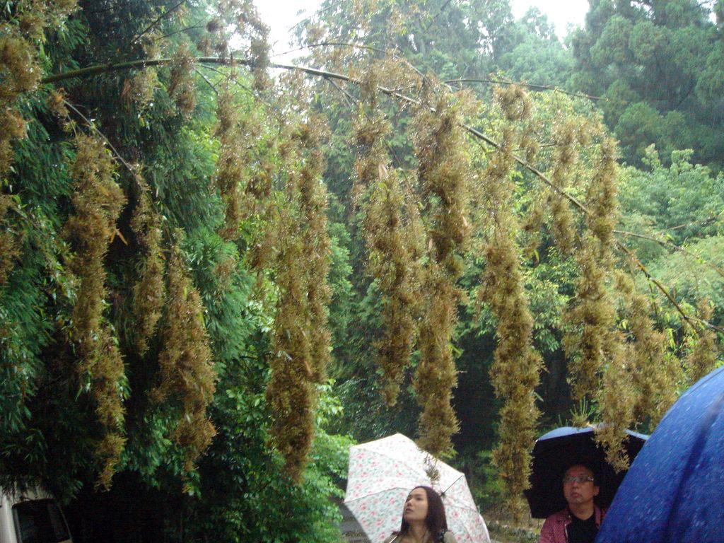 Flowering Bamboo   Courtesy: Joi