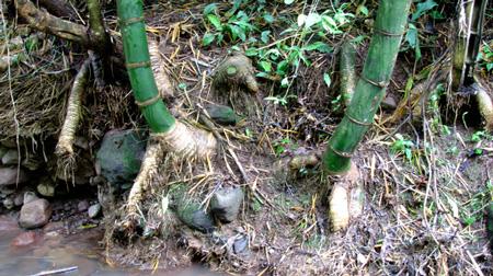 riverbank-bamboo.jpg