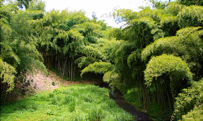 Guadua Bamboo Landscape in Colombia | Courtesy:  Our Nature