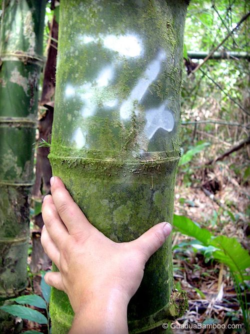 Commercial size Guadua Bamboo Stem