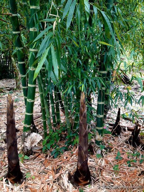 Young Guadua angustifolia clump and shoot development.