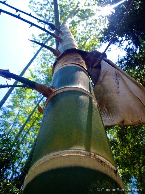 Guadua angustifolia culm