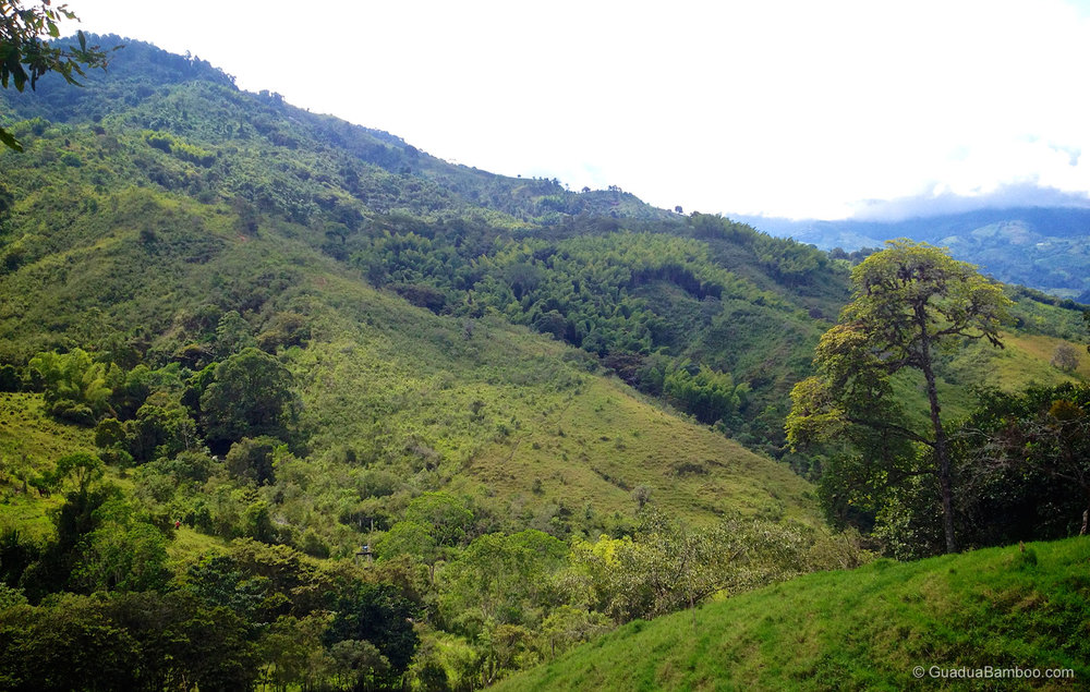 Guadua angustifolia forest at 1500m above sea-level in Colombia