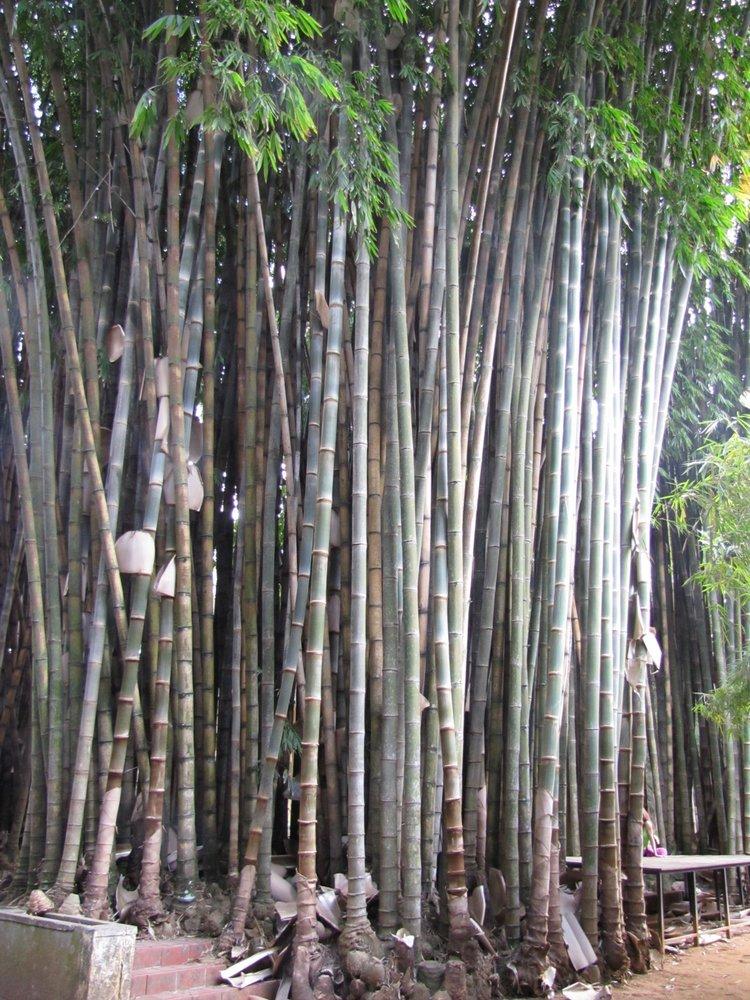Dendrocalamus Giganteus Guadua Bamboo
