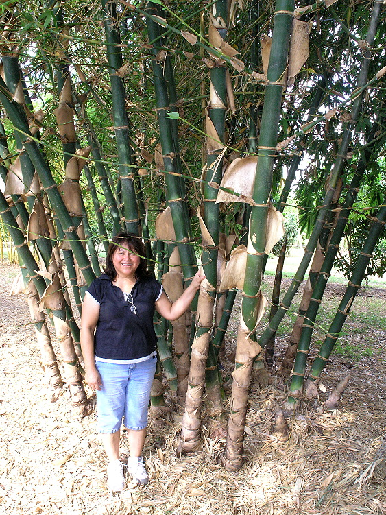 Bambusa balcoo     a