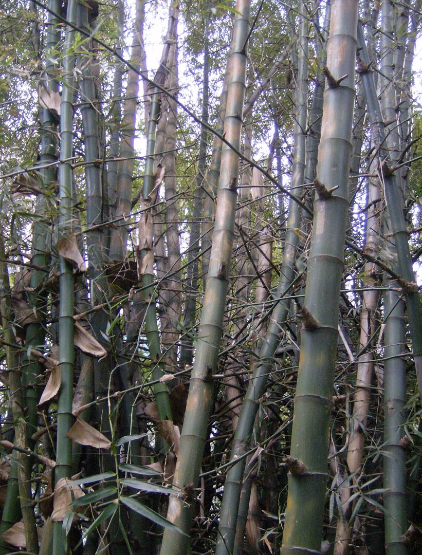 Bambusa blumeana