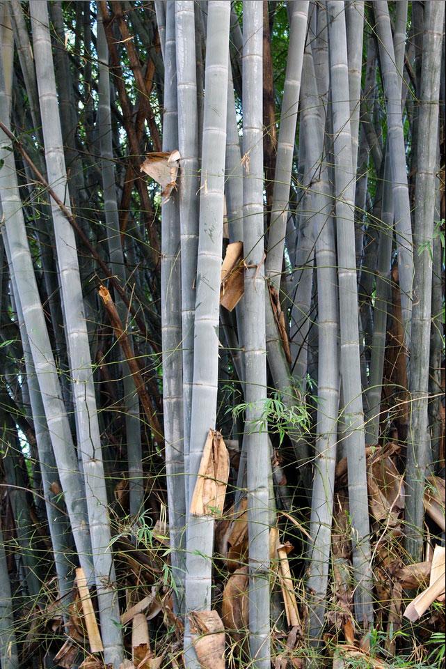Bambusa membranacea