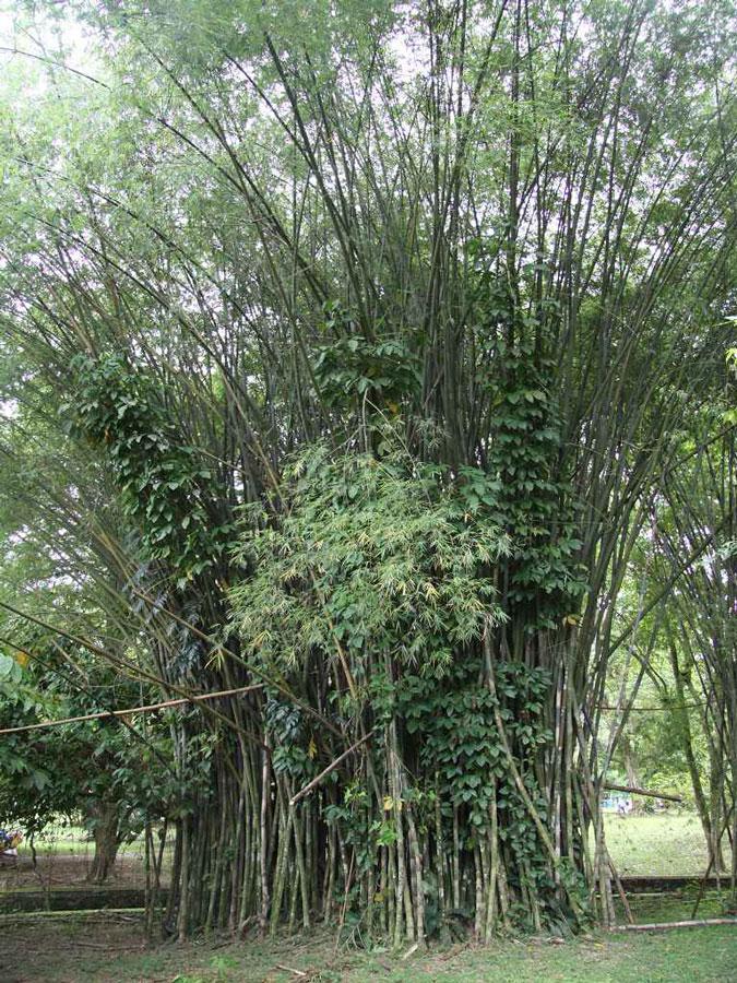 Bambusa polymorpha
