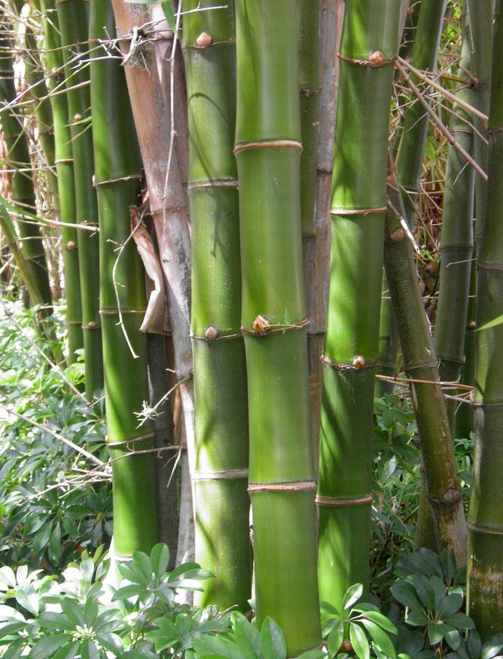 Bambusa vulgaris   Courtesy: Andy Firk