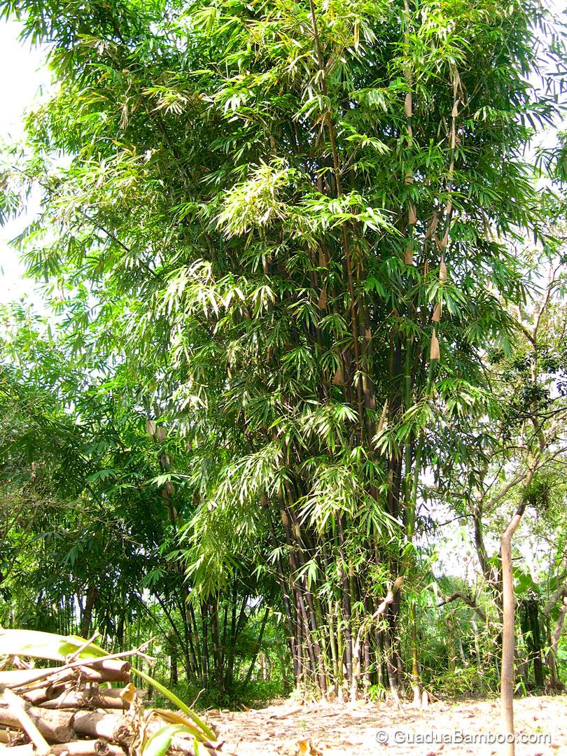 Bambusa lako