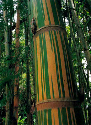 Guadua angustifolia 'Bicolor'