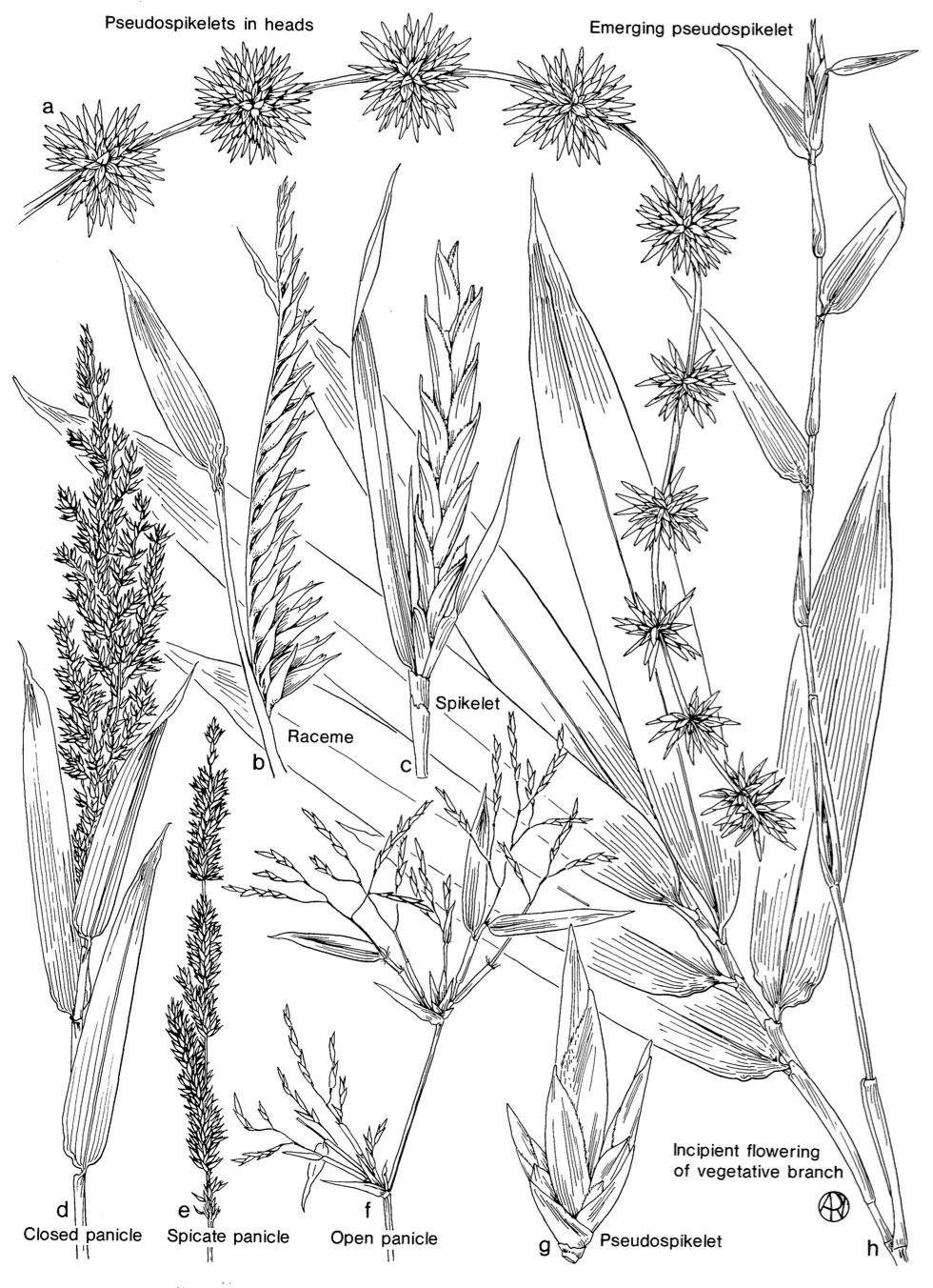identification-bamboo-inflorescence.jpeg