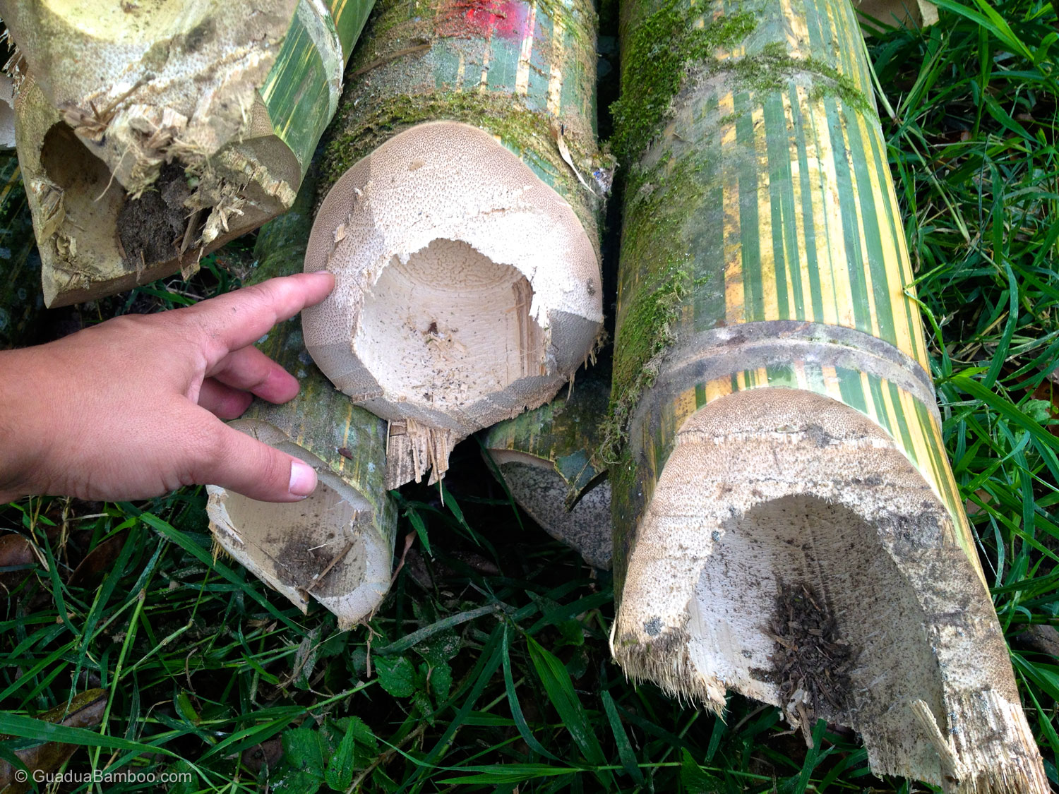 Untreated Bamboo Poles