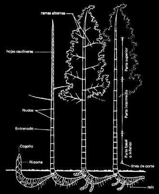 Guadua Bamboo Rhizome Morphology
