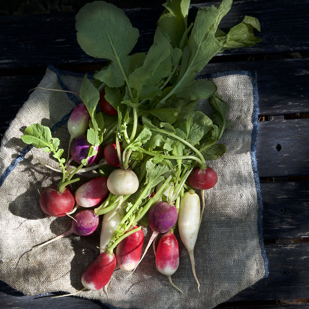 bunch of fresh heirloom radishes on fabric in sunlight