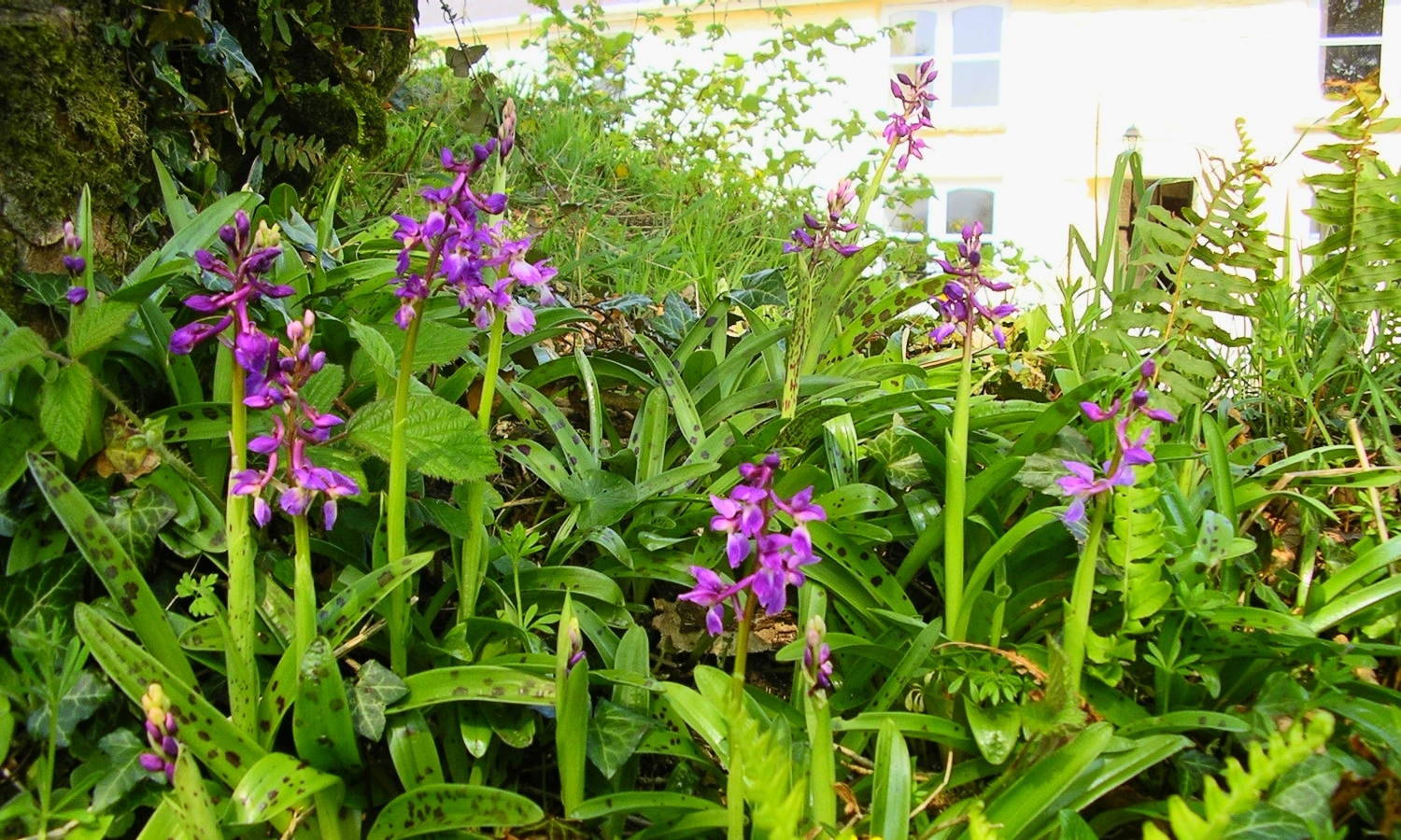 Wild orchids in May