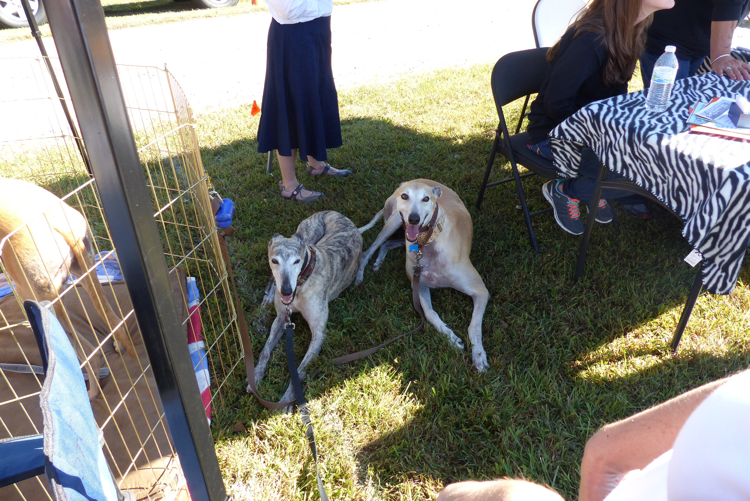 Gracie and Solo taking refuge from the sun in the neighboring Furry Farm Dog Camp tent!