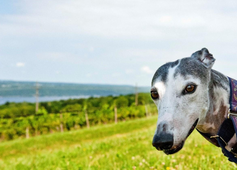 Meet Bella Como, beloved greyhound, best friend and Therapy Dog Extraordinaire.