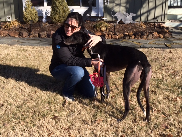 Christine now has a truly retired black and white boy, Sonic Rush. Christine, a long term BRGA member recently lost her sweet Grey, Solo. Christine has had many years of enjoying retired greyhounds and knew she always has room for more. Congratulations Christine and Sonic!
