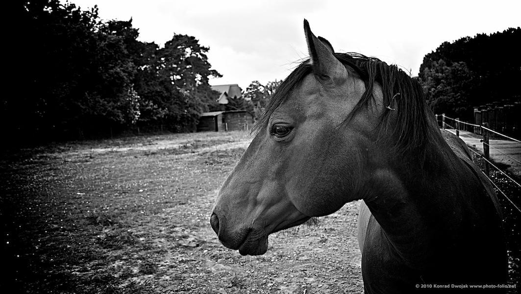 horse_Belgium